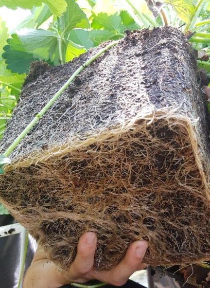 Zachtfruit substraat aardbei wortelvorming Lensli
